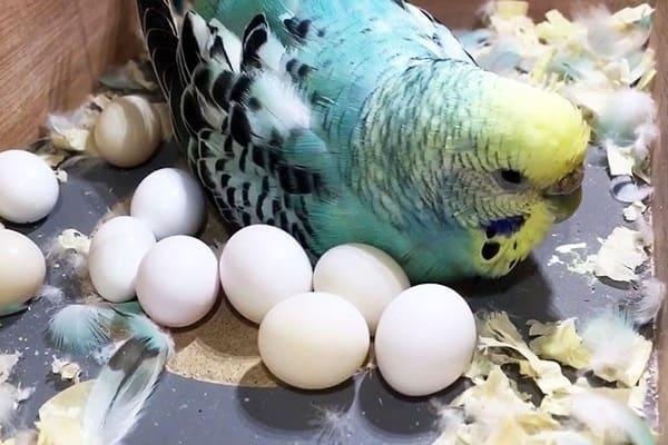 تخم مرغ عشق