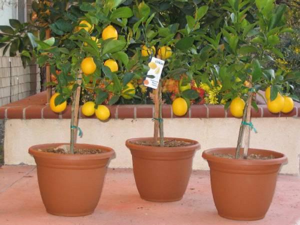 کاشت میوه در خانه