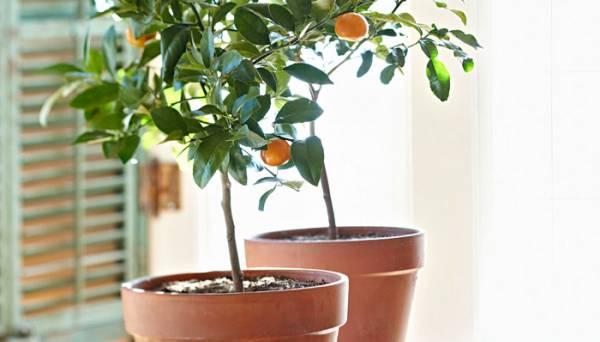 کاشت پرتقال در گلدان