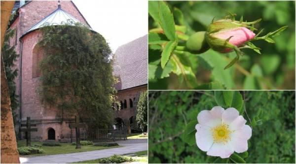 تحقیق در مورد گل رز