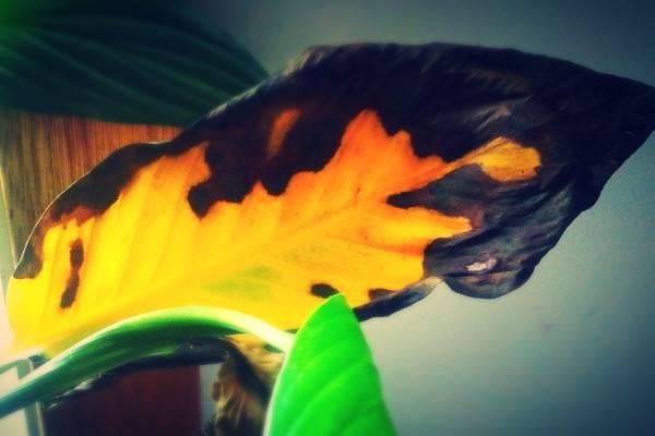 علت زرد شدن برگ گل