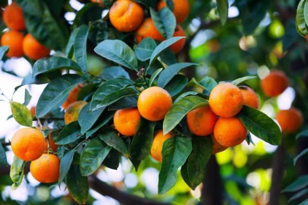 خاصیت نارنگی
