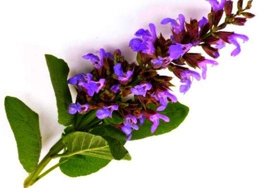 گیاه مریم گلی برای پوست و مو