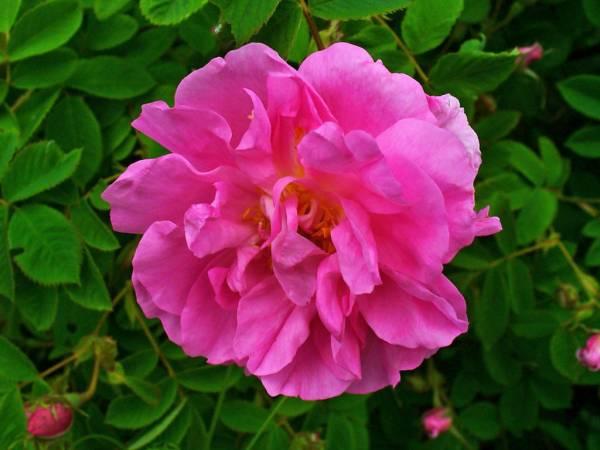 مزایای گل محمدی