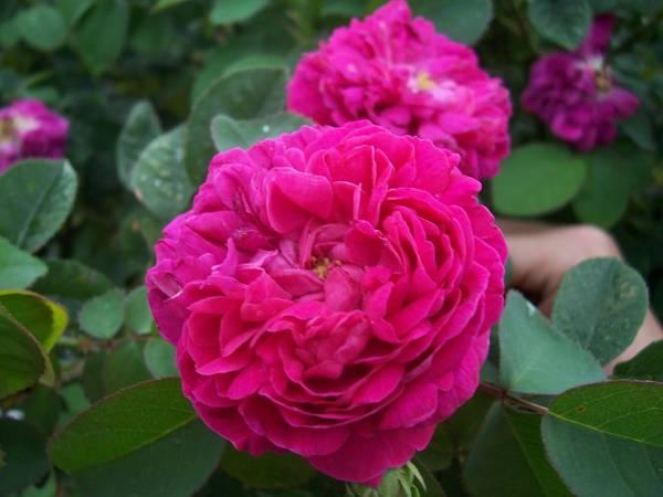 گل محمدی برای یبوست