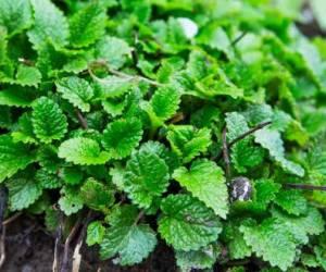 خواص بادرنجبویه یا گیاه ملیسا برای کبد، زیبایی و درمان ها + چای