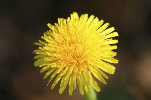 خاصیت گل قاصدک