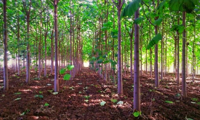کاشت پالونیا