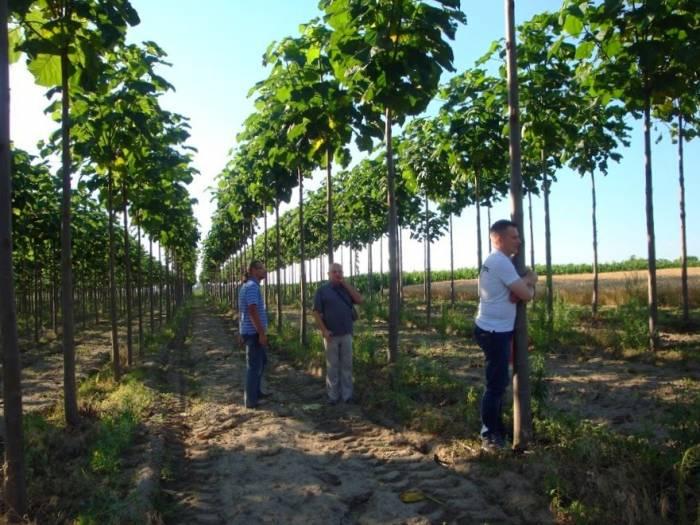 درخت پولساز پالونیا