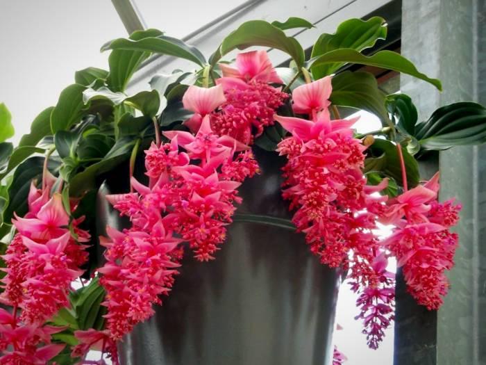 بذر گل خوشه آویز