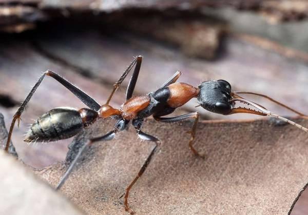 مورچه خطرناک