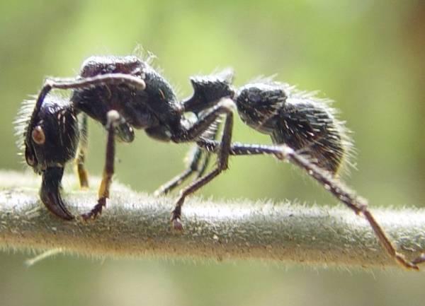 مورچه فشنگی
