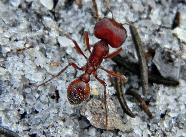 خطرناک ترین مورچه