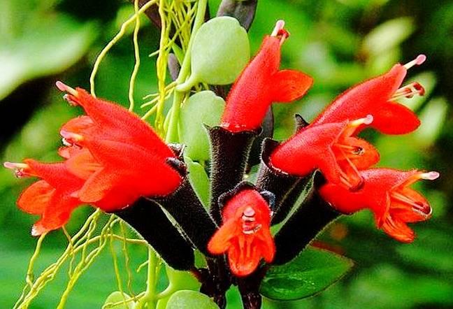 راهنمای کامل مراقبت و پرورش گل اسکینانتوس (گیاه رژ لب)