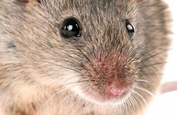 دور کردن موش از خانه