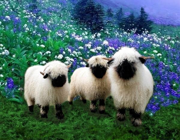 مو گوسفند