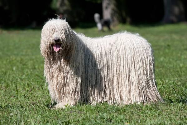 سگ کمندرو
