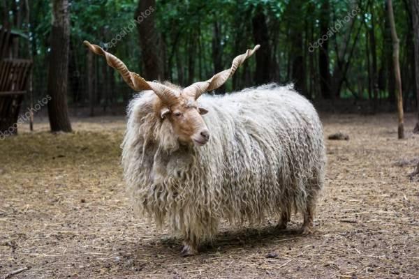گوسفند راکا