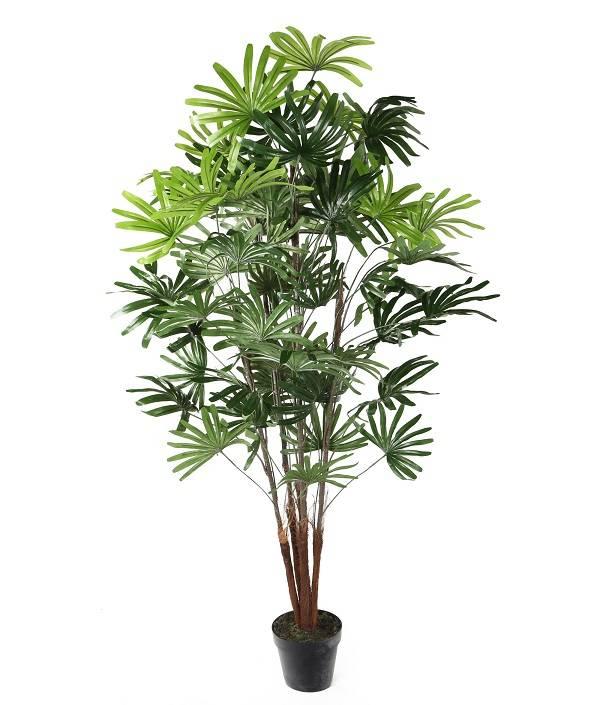 گیاه نخل راپیس
