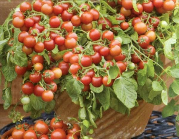 مراحل پرورش گوجه فرنگی