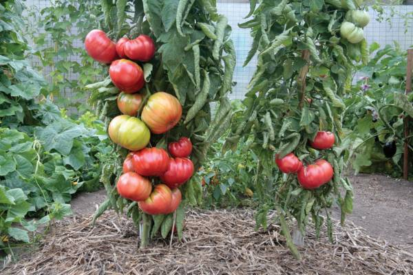 پرورش وکاشت گوجه فرنگی در خانه