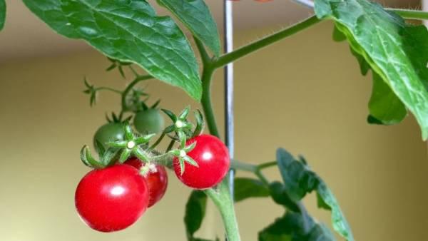 پرورش گوجه فرنگی در گلدان