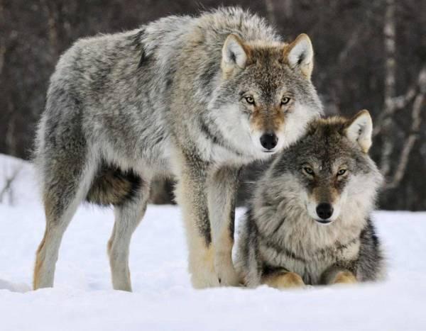 گرگ بزرگ ترین شکارچی زمینی