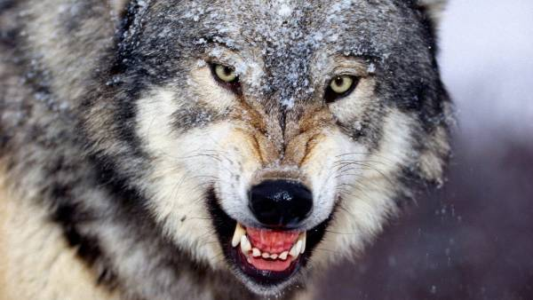گرگ گرسنه
