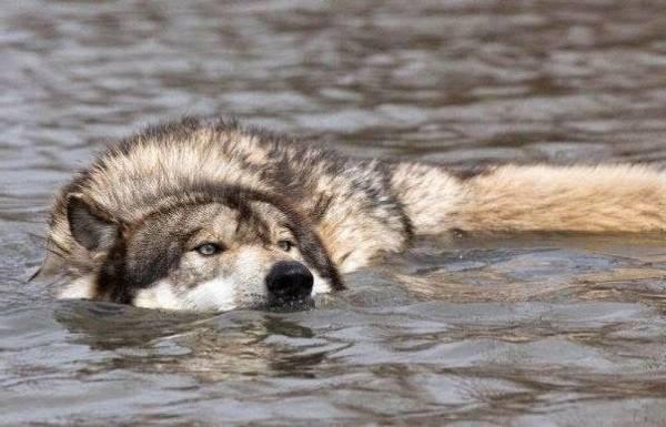 شنای گرگ ها