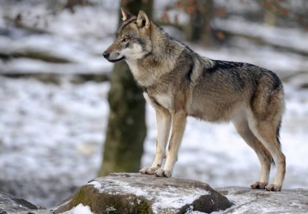 خصوصیات عجیب گرگها