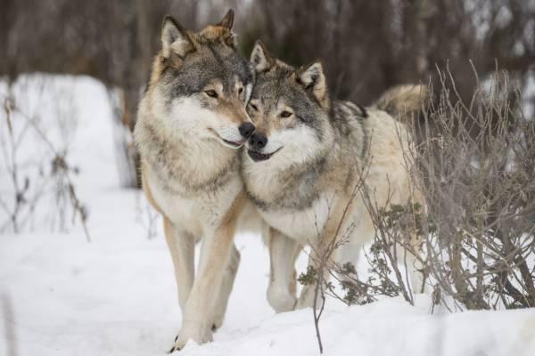 ویژگی های گرگ ها