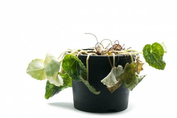 پژمرده شدن گیاهان آپارتمانی