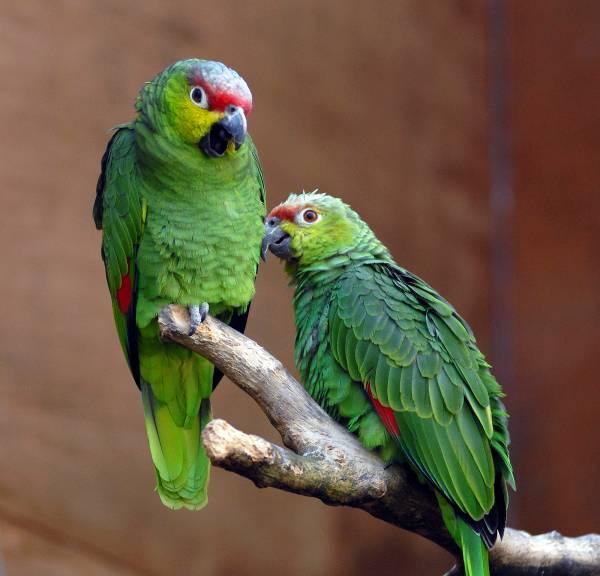 حرف زدن طوطی سبز