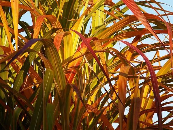 درمان زردی برگهای بامبو