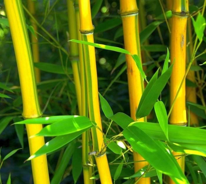 زرد شدن ساقه بامبو