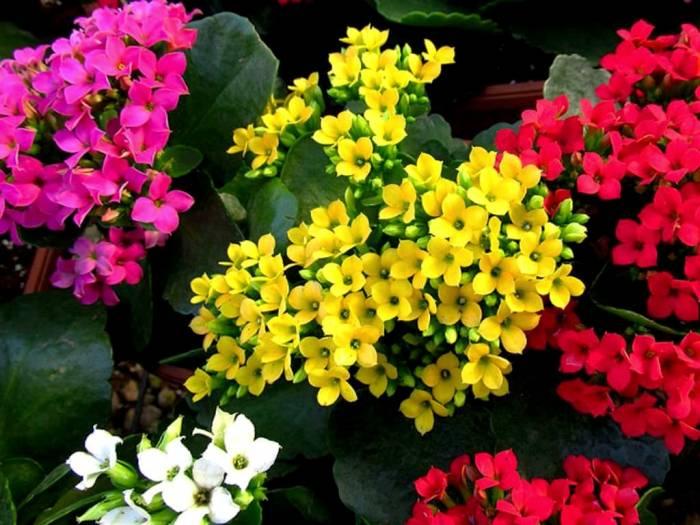 انواع گل کالانکوا