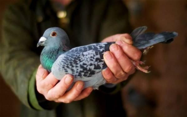 سرعت پیام رسانی کبوترها