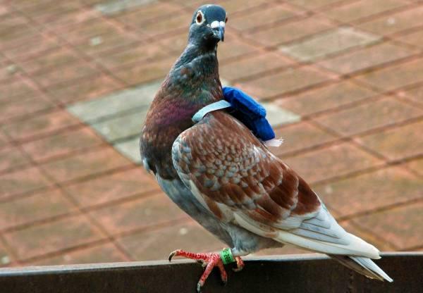 کبوترهای جنگی