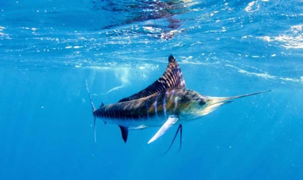 ماهی مارلین