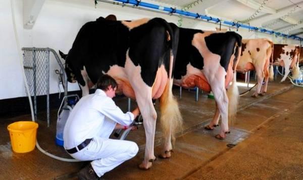 گرفتن شیر گاو