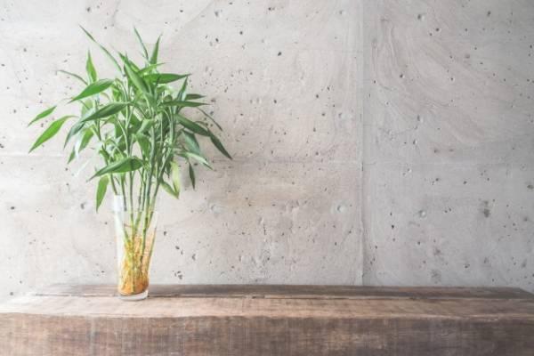 گیاه خانگی بامبو