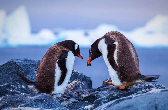 پنگوئن های جنتو