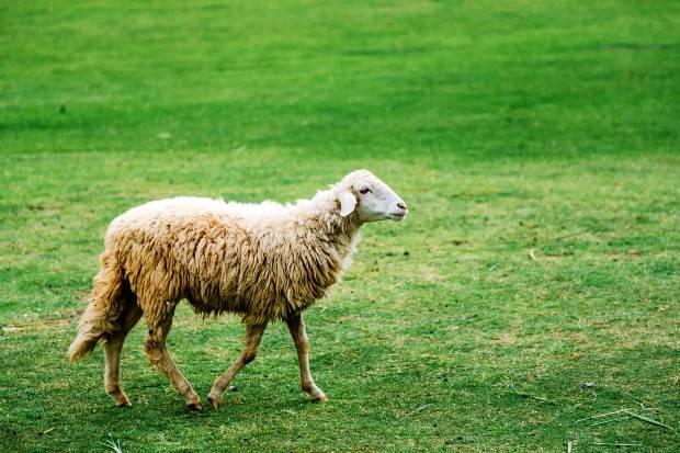 گوسفند عید قربان