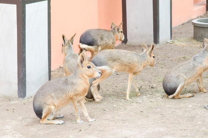 خرگوش پاتاگونی